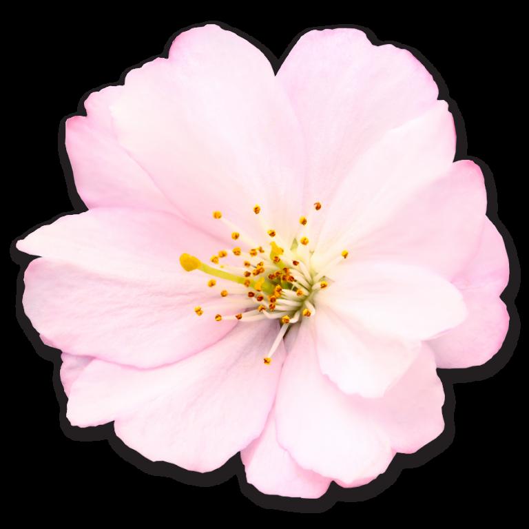 Ảnh bông hoa đào PNG