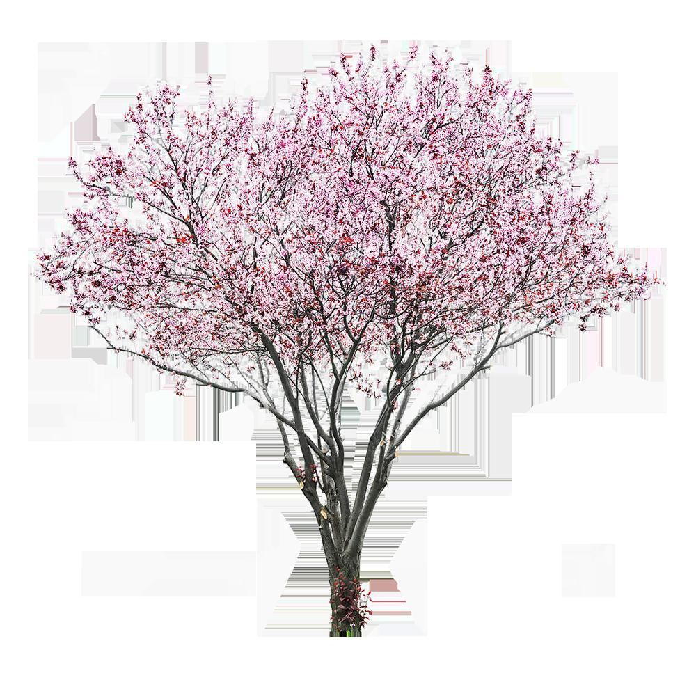 Ảnh cây hoa đào đẹp