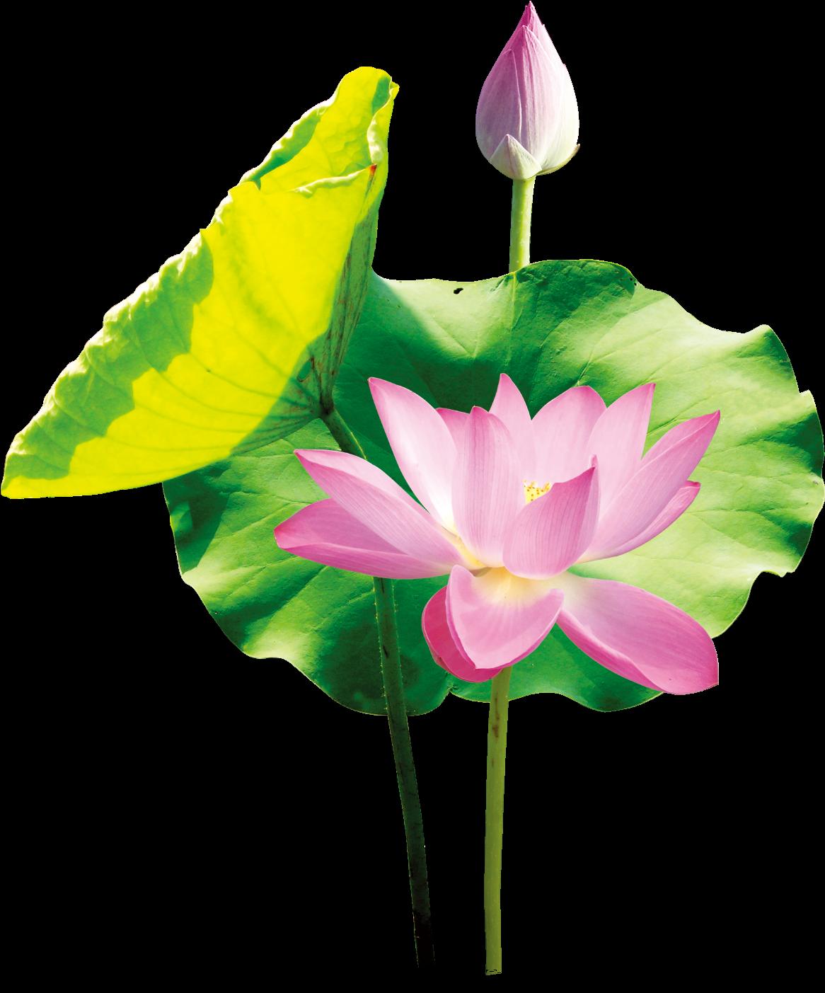 Ảnh cây hoa sen đẹp PNG