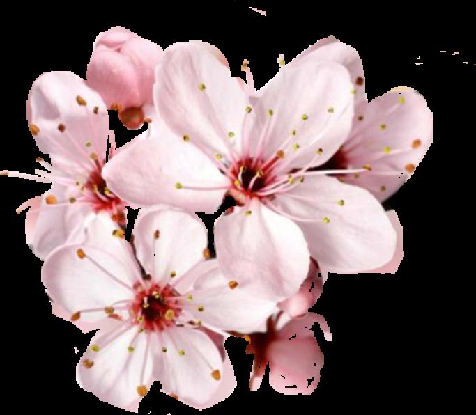 Ảnh hoa đào nở PNG