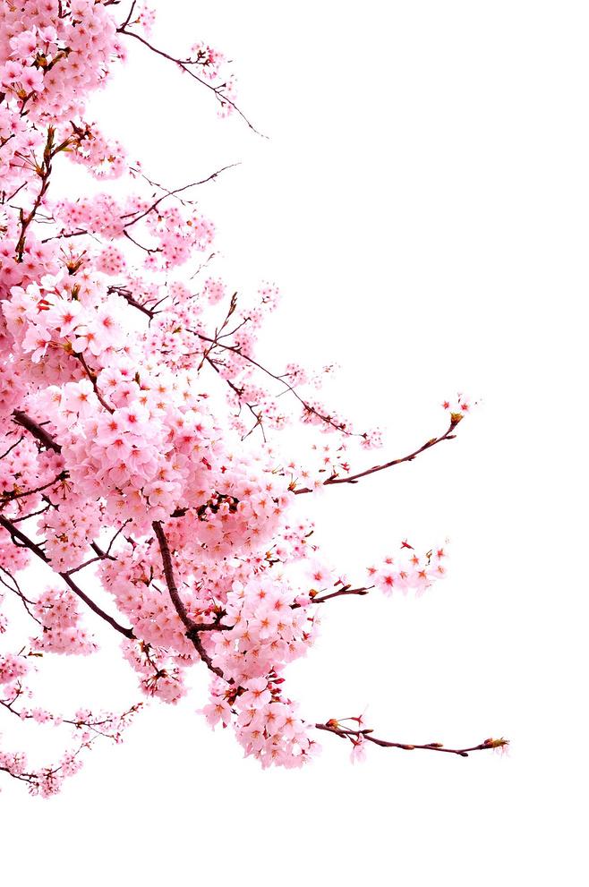 Ảnh hoa đào PNG đẹp