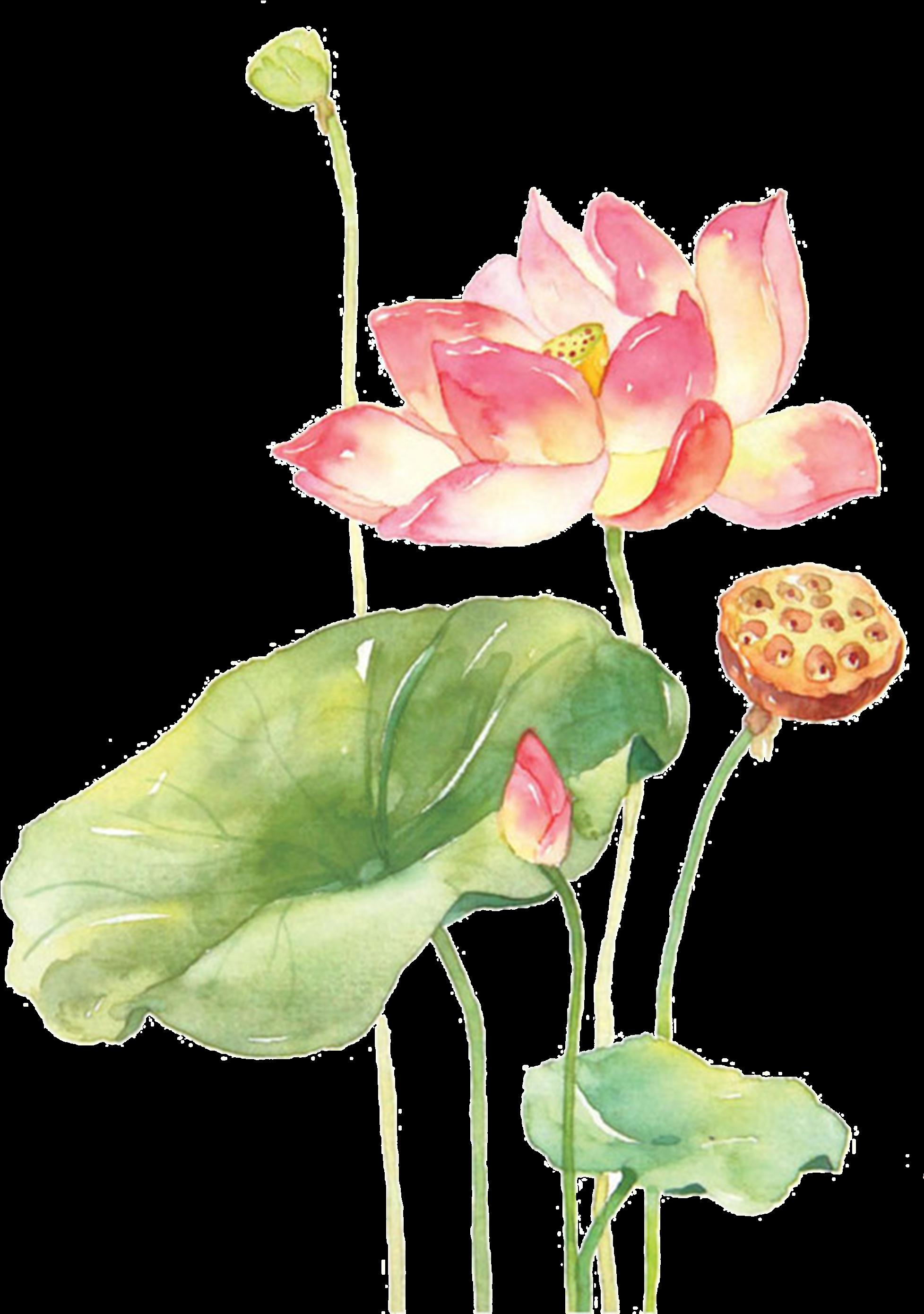 Ảnh vẽ hoa sen PNG