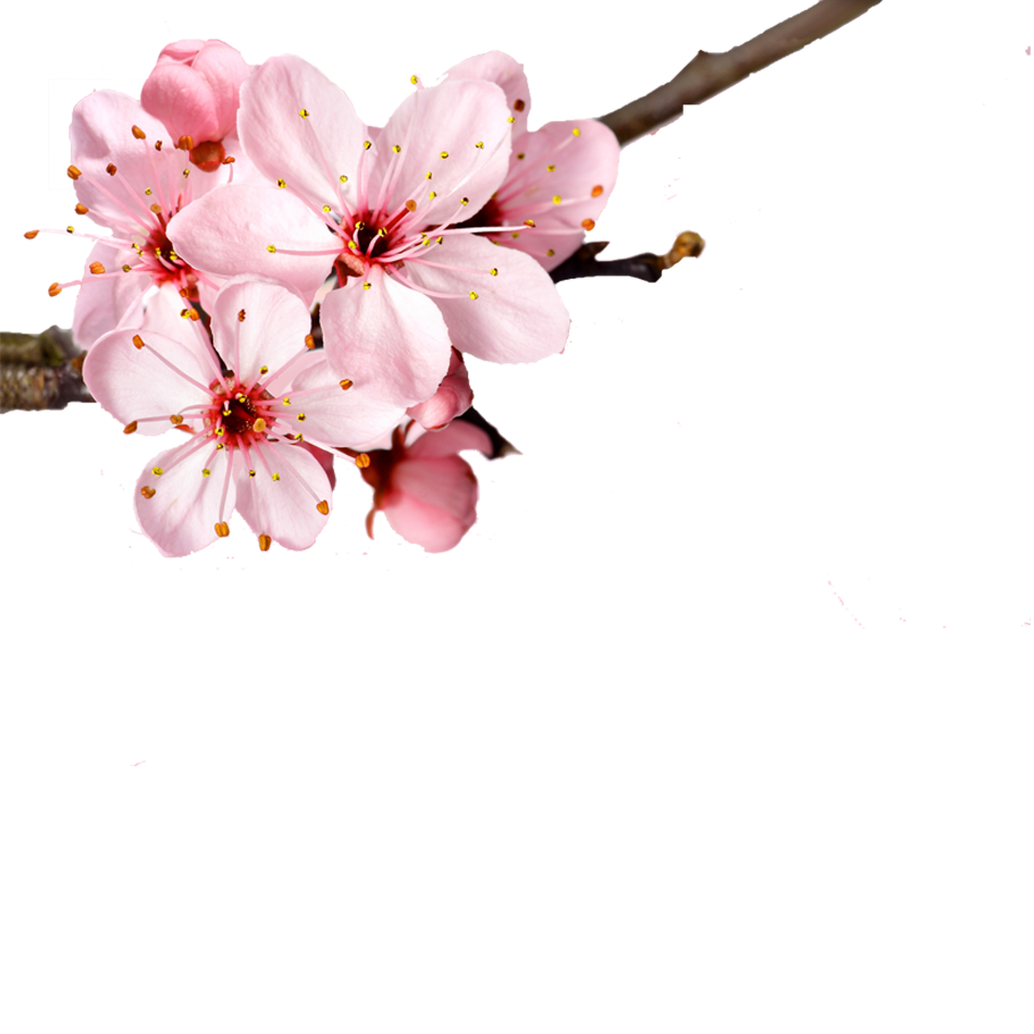 Hình ảnh bông hoa đào nở