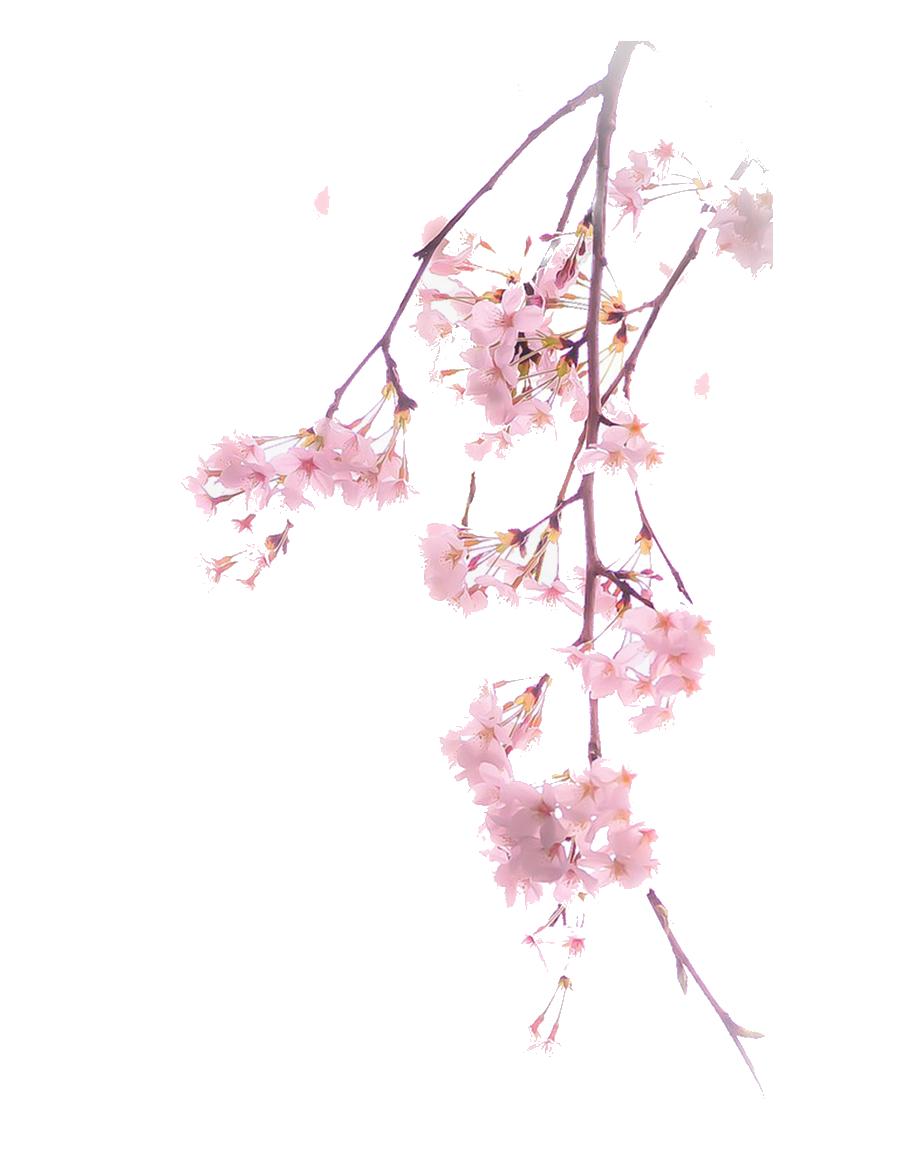 Hình ảnh cành cây hoa đào