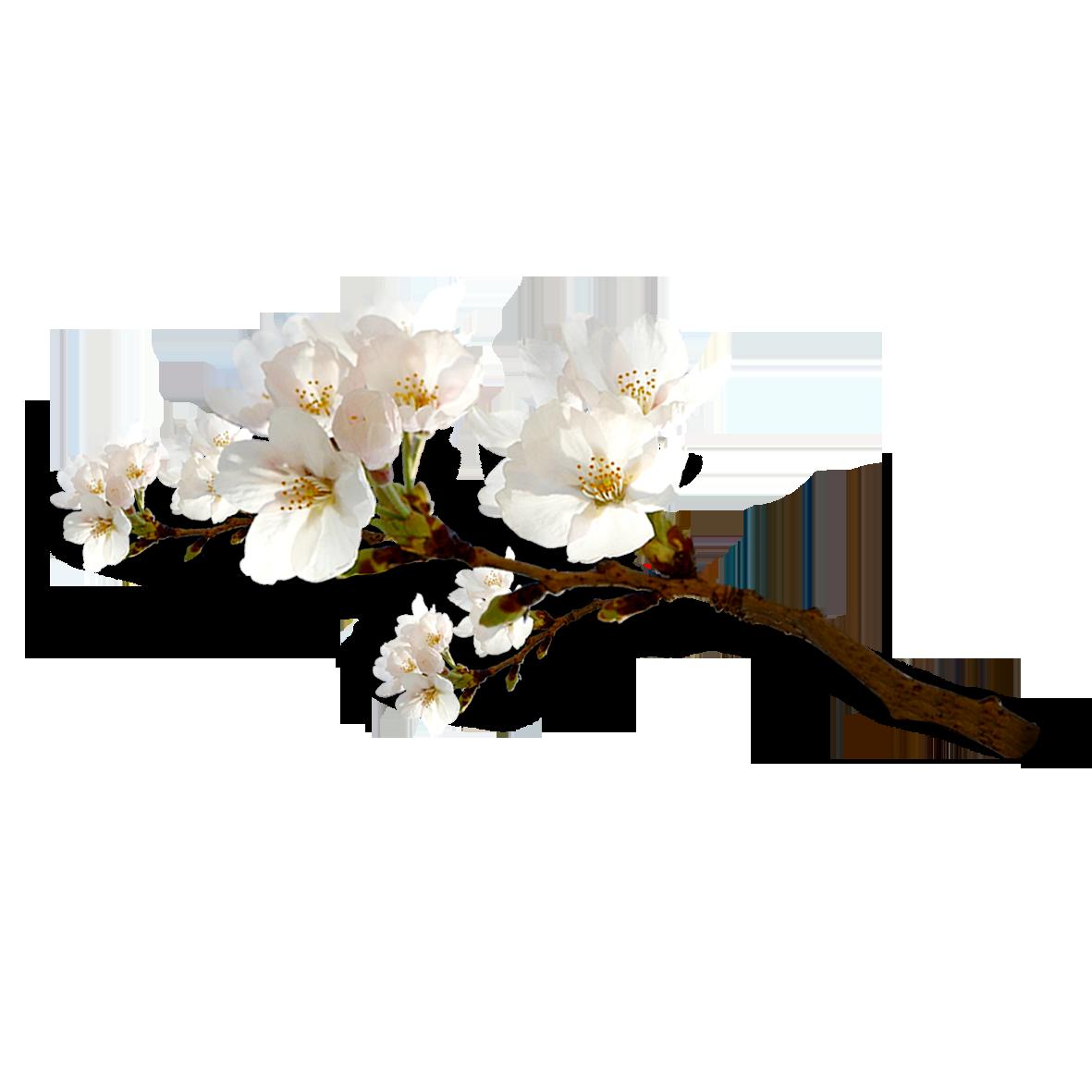 Hình ảnh cành hoa đào trắng