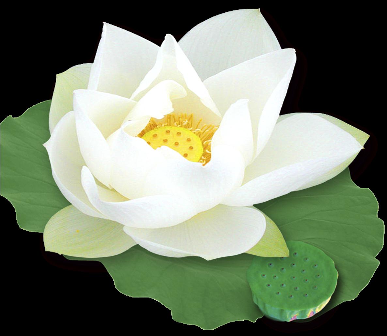 Hình ảnh cây hoa sen PNG
