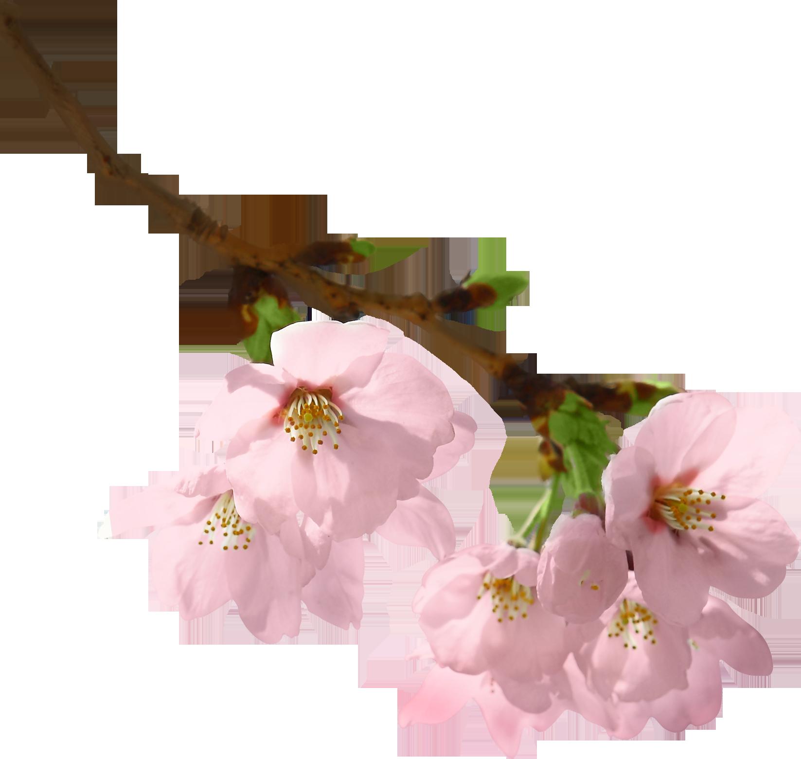 Hình ảnh nhánh hoa đào PNG