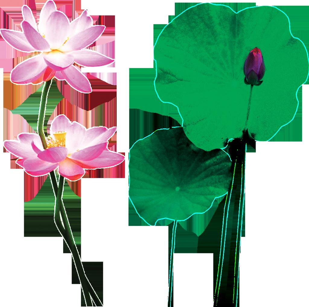 Hình ảnh PNG cây hoa sen đẹp nhất