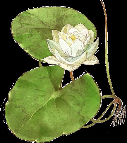 Hình ảnh vẽ cây hoa sen