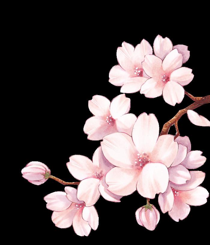 Hoa anh đào vector